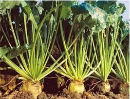 مكننة زراعة الشمندر السكري وسيلة ناجعة للرفع من الإنتاج بالناظور و منطقة ملوية