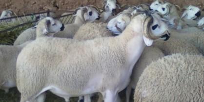 استعدادا للعيد: مطالب بدخول مواشي المغرب من الناظور إلى مليلية