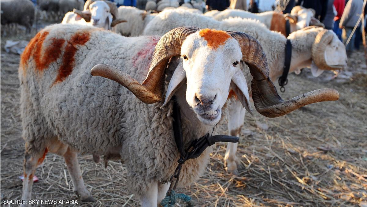 مغاربة مليلية محرومون من خروف العيد حتى سنة 2018 وهذا هو السبب !!