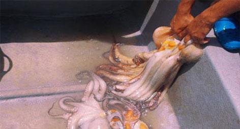 رغم المنع بيولوجيا..صيادون يقفزون فوق القانون ويصطادون الأخطبوط بسواحل الناظور و الدريـوش