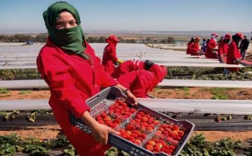 500 عاملة من الحسيمة سيشتغلن في مزارع الفرولة باسبانيا