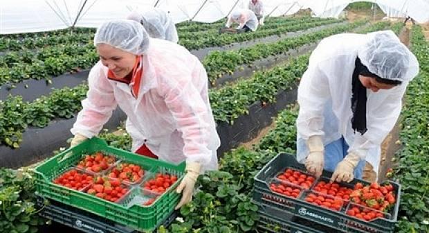 تساقطات أبريل تهدد رزق نساء الريف العاملات في حقول الفراولة في إسبانيا