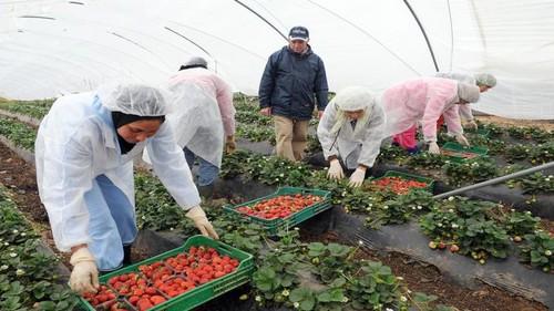 بينهن ناظوريات: أنباء عن «حريك» 3000 من عاملات حقول الفراولة الإسبانية