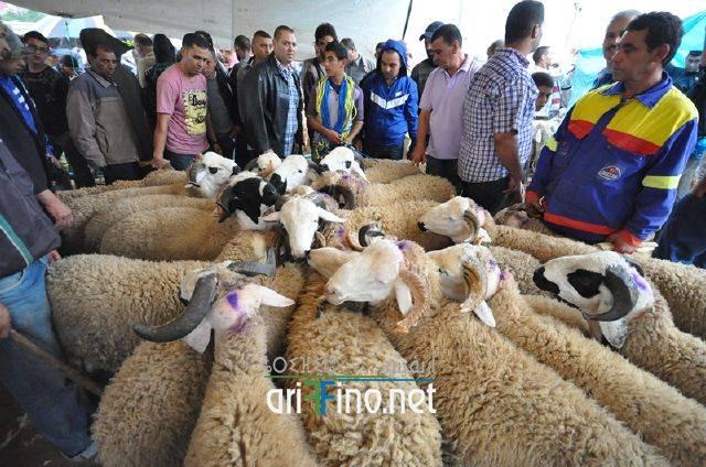 مثير:ارتفاع أسعار خروف العيد بالناظور بسبب العودة المكثفة لأفراد الجالية؟