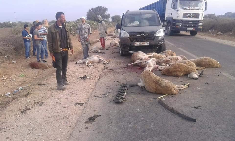 الناظور …شاحنة تدهس قطيع ماشية و تقتل 13 رأساً من الأغنام !!